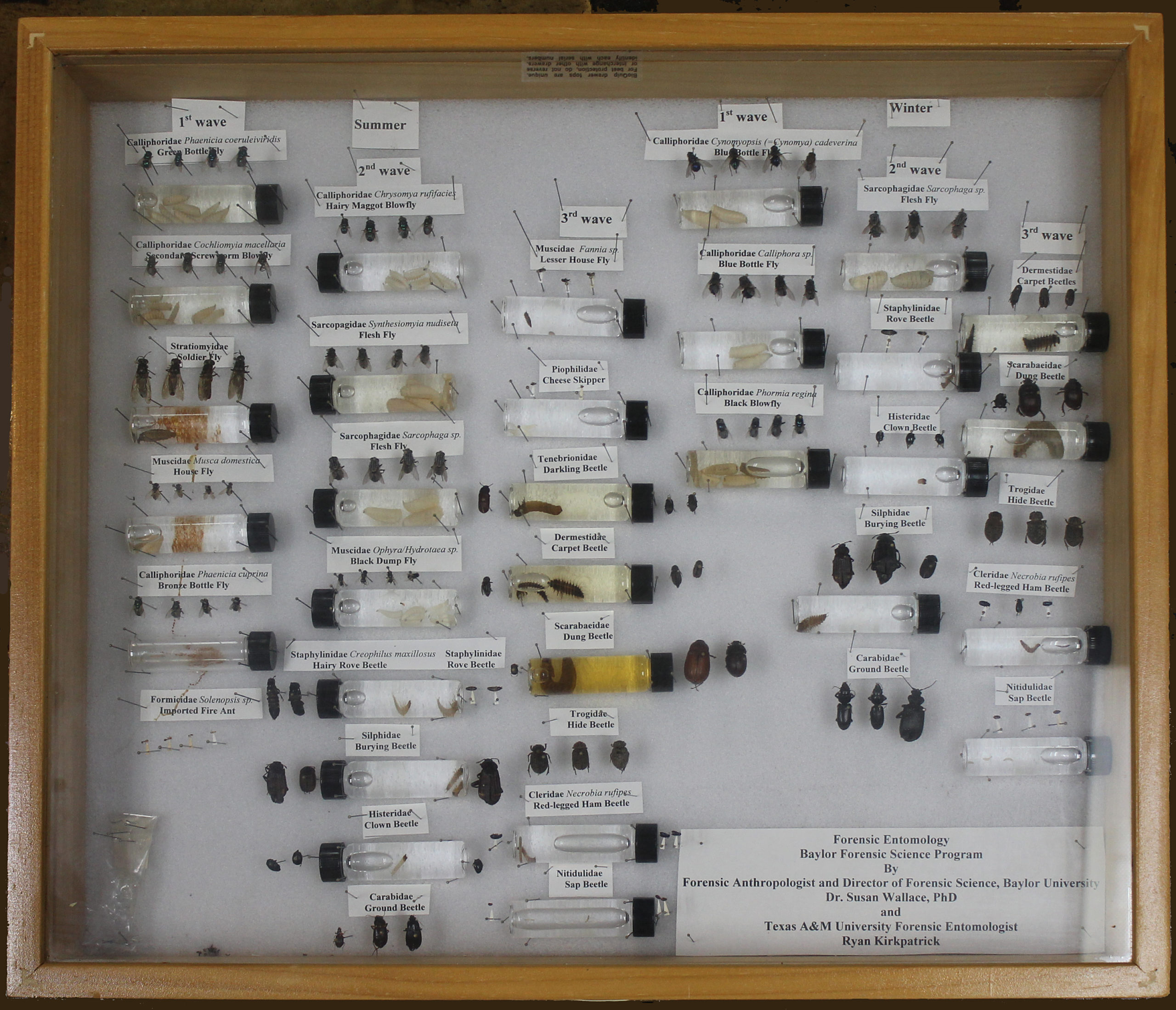 Various bug samples pinned to a white background in a glass box with a brown wooden frame. Some of the bug samples are in tubes.